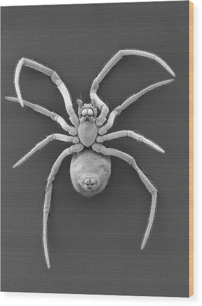 Western Black Widow Spiderling Wood Print by Dennis Kunkel Microscopy/science Photo Library