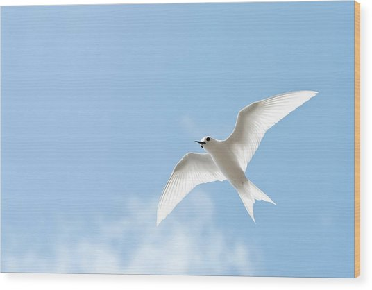 White Tern (gygis Alba Rothschildi Wood Print by Daisy Gilardini