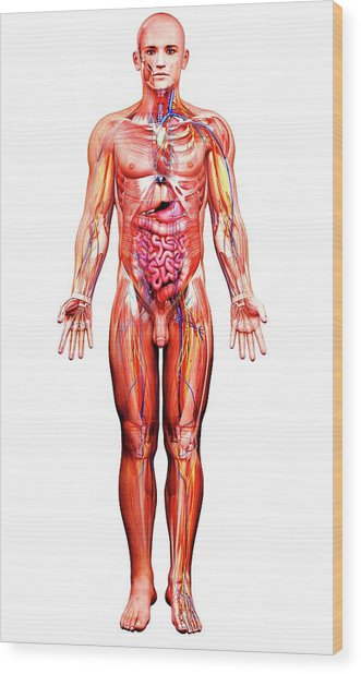 Male Anatomy Wood Print by Pixologicstudio/science Photo Library