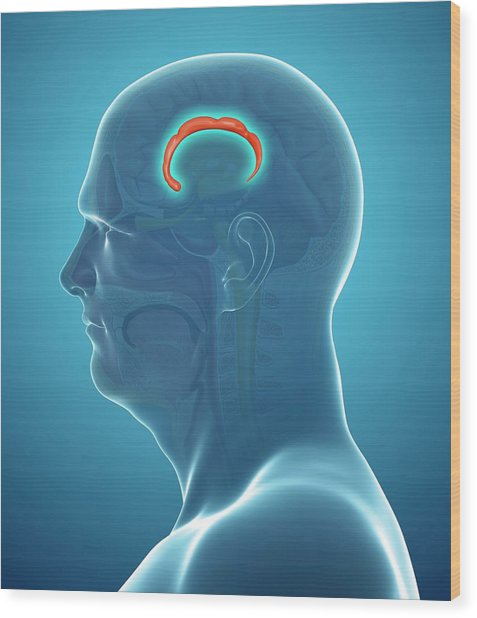 Brain Anatomy Wood Print by Pixologicstudio/science Photo Library