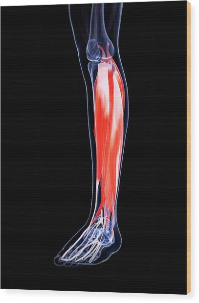 Human Calf Muscles Wood Print by Sebastian Kaulitzki
