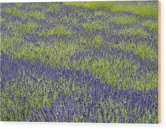 Lavendar Field Rows Of White And Purple Flowers Wood Print