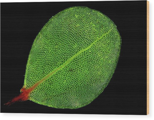 Moss Leaf Wood Print by John Durham