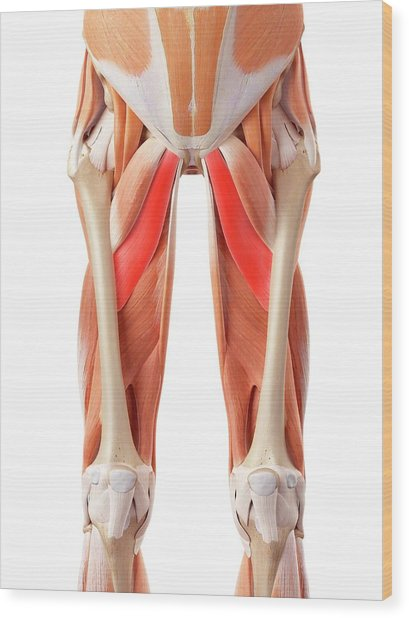 Muscular System Of Legs Wood Print by Sebastian Kaulitzki/science Photo Library