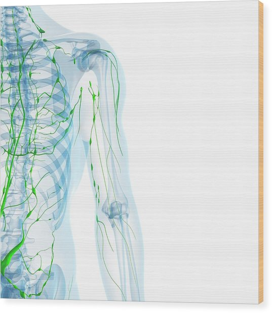 Lymphatic System Wood Print by Sciepro/science Photo Library