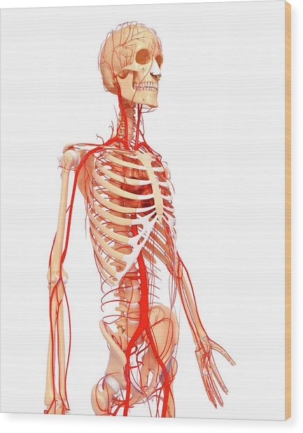 Human Arteries Wood Print by Pixologicstudio/science Photo Library