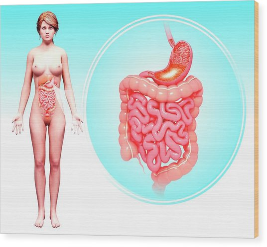 Human Digestive System Wood Print by Pixologicstudio/science Photo Library