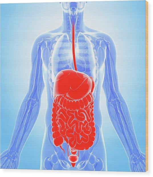 Human Digestive System Wood Print by Pixologicstudio