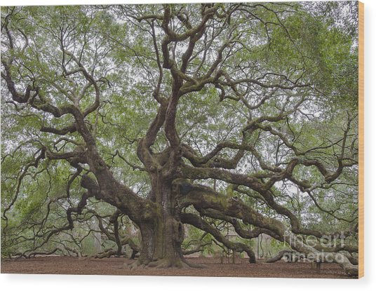 Sc Angel Oak Tree Wood Print
