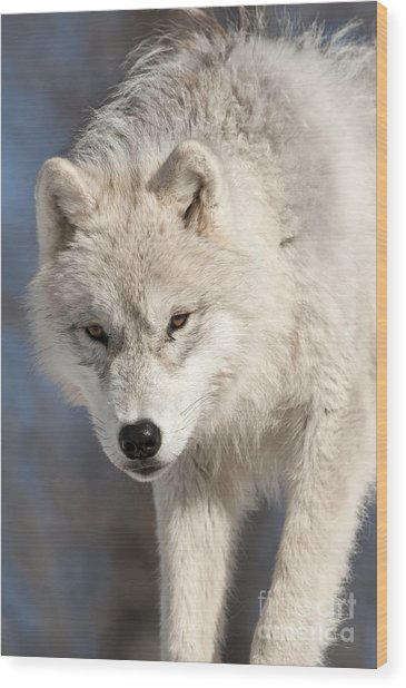 Arctic Wolf Pup Wood Print