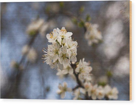 Blackthorn Blossom Wood Print