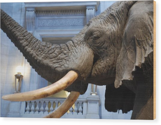 Bull Elephant In Natural History Rotunda Wood Print