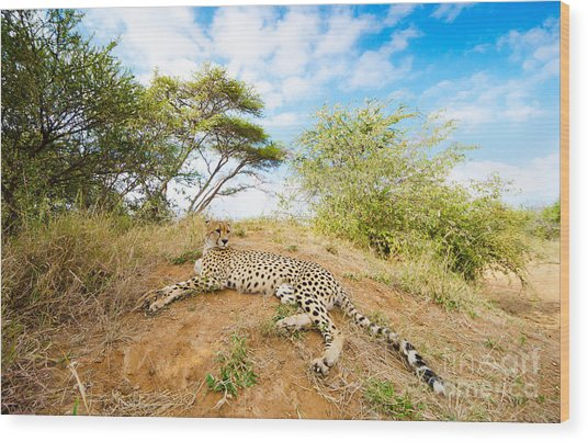 Cheetah - South Africa Wood Print by Birdimages Photography