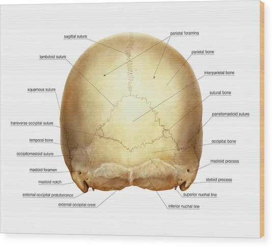 Cranium Wood Print by Asklepios Medical Atlas