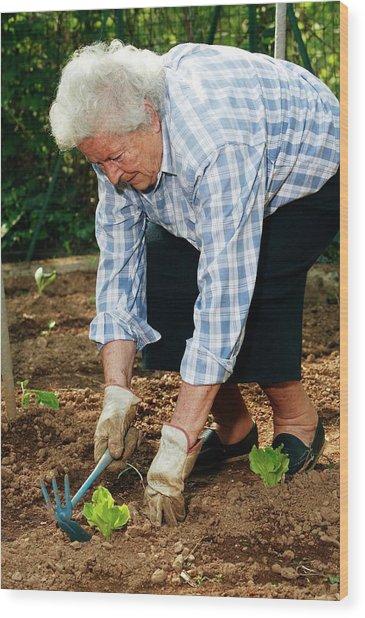 Elderly Lady Gardening Wood Print by Mauro Fermariello/science Photo Library