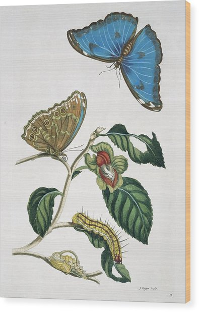 Insects Of Surinam, 18th Century Wood Print by Science Photo Library
