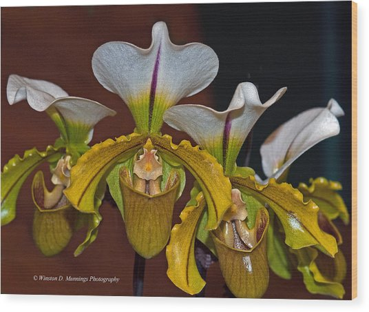 Paphiopedilum Orchid Wood Print