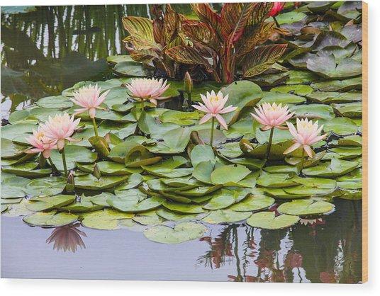 6 Pink Waterlilies Wood Print by Jill Bell