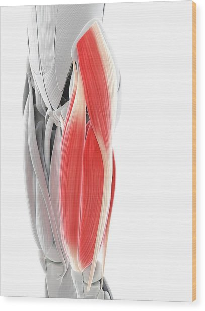 Thigh Muscles Wood Print by Sciepro/science Photo Library