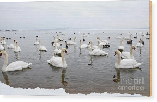 60 Swans A Swimming Wood Print