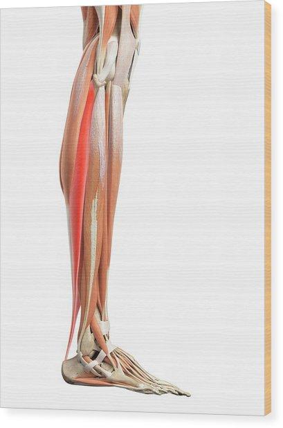 Leg Muscles Wood Print by Sebastian Kaulitzki/science Photo Library
