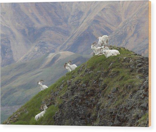 Alaskan Dall Dahl-sheep Image Art  Wood Print