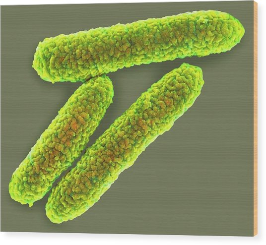 E. Coli Bacteria Wood Print by Science Photo Library