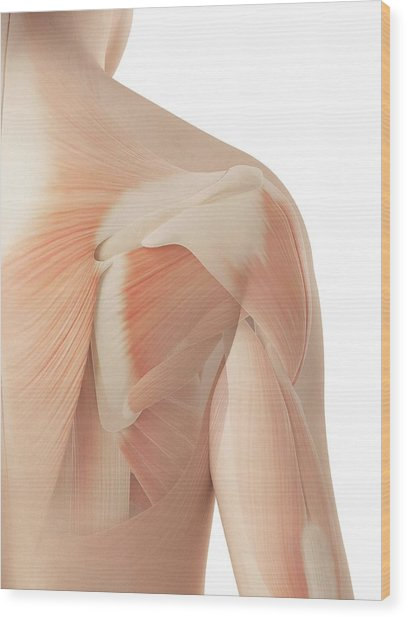 Human Shoulder Muscles Wood Print by Sebastian Kaulitzki