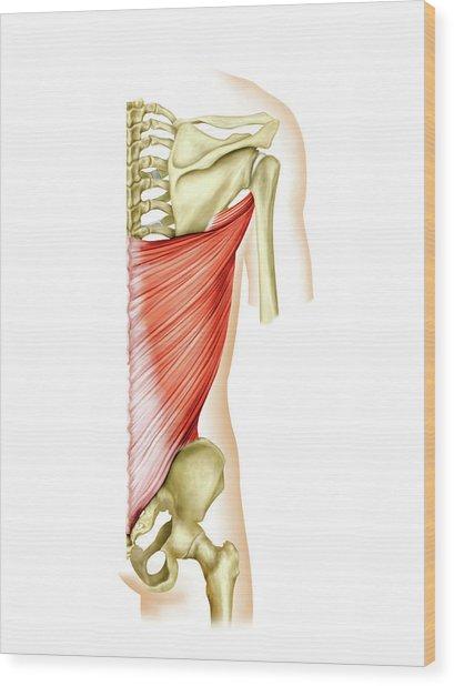 Shoulder Muscles Wood Print by Asklepios Medical Atlas