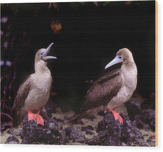 South America, Ecuador, Galapagos Wood Print