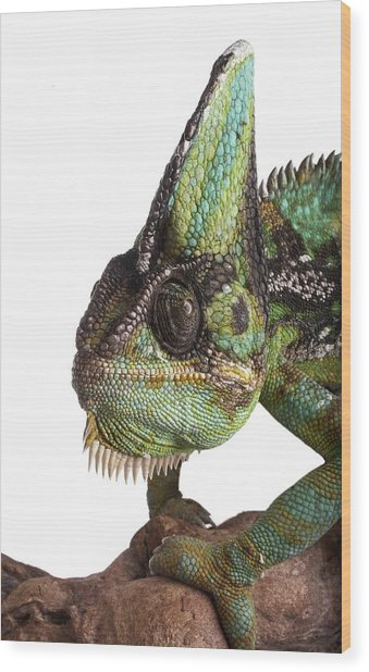 Veiled Chameleon Wood Print by Science Photo Library