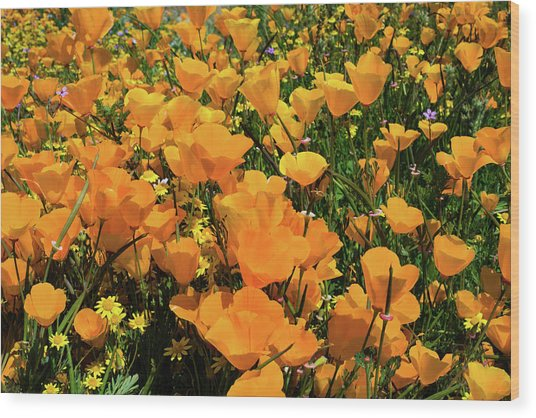California Poppies Eschscholzia Wood Print