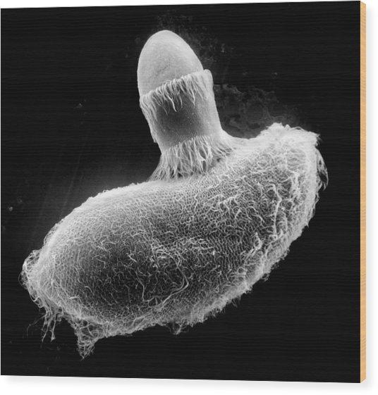 Didinium Ingesting Paramecium, Sem Wood Print