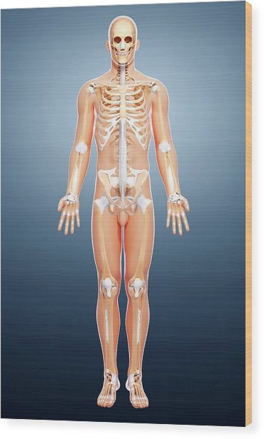 Male Skeleton Wood Print by Pixologicstudio/science Photo Library