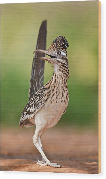 Greater Roadrunner (geococcyx Wood Print by Larry Ditto