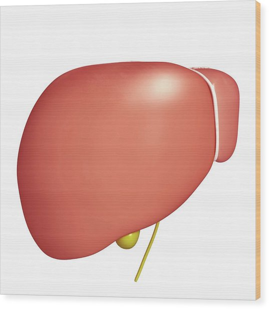 Healthy Liver Wood Print by Pixologicstudio/science Photo Library