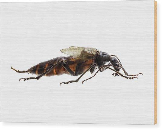 Longhorn Beetle Wood Print by F. Martinez Clavel