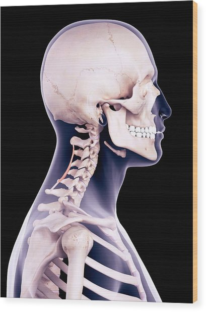 Neck Muscles Wood Print by Sebastian Kaulitzki/science Photo Library