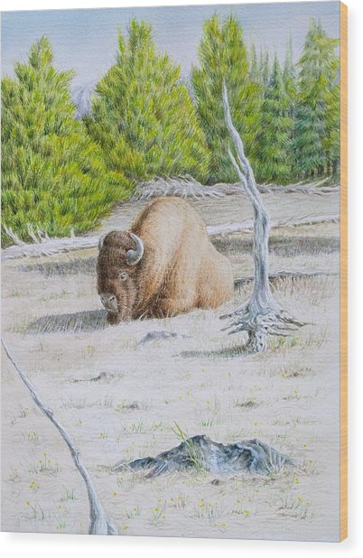 A Buffalo Sits In Yellowstone Wood Print