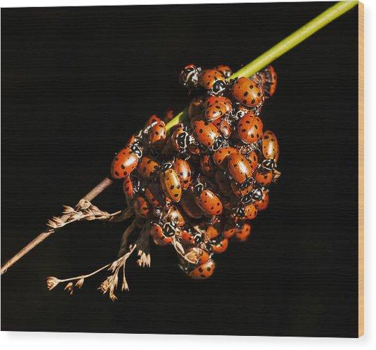 A Bunch Of Ladybugs Wood Print