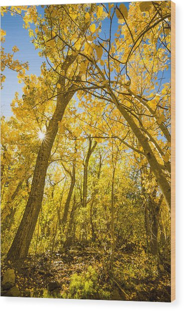 A Canopy Of Aspens At Mcgee Creek In The Eastern Sierras Wood Print