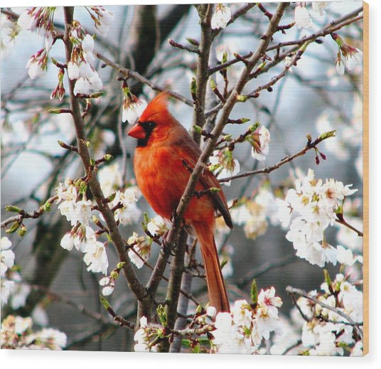 A Cardinal In The Apple Blossoms Wood Print