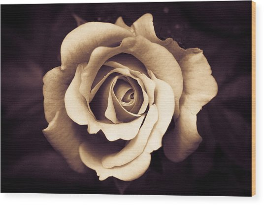 A Chocolate Raspberry Rose Wood Print