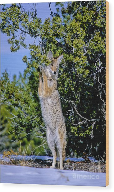 A Coyote Stands To Eat Wood Print