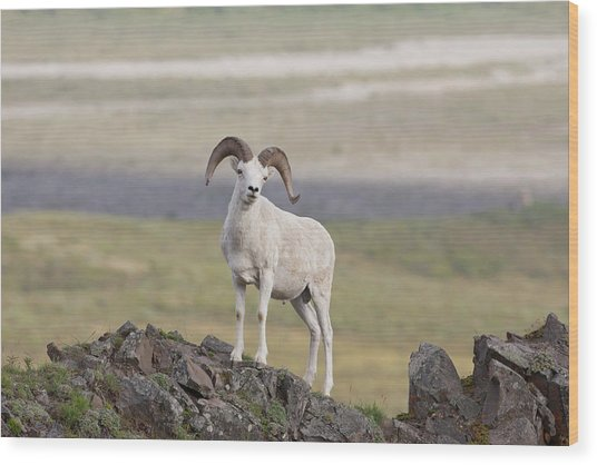A Dall Sheep Ram Poses On Marmot Rock Wood Print by Hugh Rose