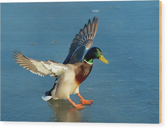 A Drake Lands On An Icy Pond Wood Print by Richard Wright