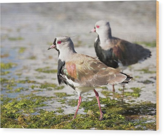 A Flock Of Southern Lapwings Wood Print