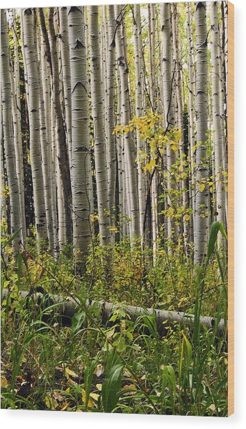 A Forest Of Aspen Wood Print