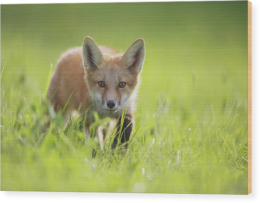 A Fox In The Grass  Montreal, Quebec Wood Print
