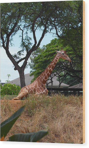 A Giraffe Rests In Honolulu Wood Print